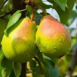 Οι Αχλαδιές είναι δένδρα φυλλοβόλα,μακρόβια, μικρού έως μεγάλου μεγέθους. Σε γενικές γραμμές μοιάζουν με τις μηλιά, αλλά έχουν πιο ορθόκλαδα χαρακτηριστικά