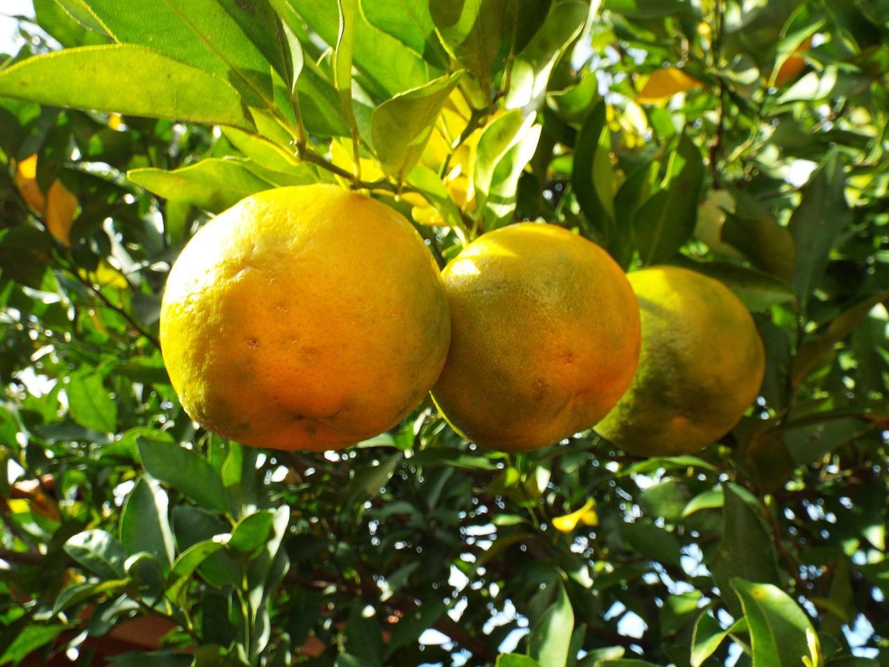 Το περγαμόντο είναι ο καρπός του δέντρου Περγαμοντιά (Citrus bergamia) ή αλλιώς Κίτρον το περγάμιον