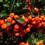 berry-1238073_1280