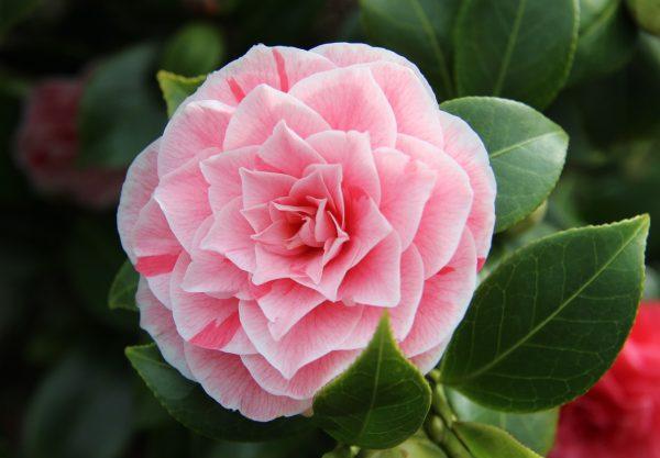 Η Καμέλια (Camellia japonica) είναι αειθαλής θάμνος, μεγάλης καλλωπιστικής αξίας