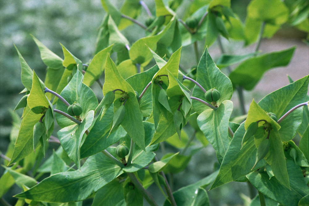 Η Κάπαρη ανήκει στην οικογένεια Capparidaceae και στο είδος Capparis spinosa. Ο φλοιός της ρίζας χρησιμοποιείται στην φαρμακευτική