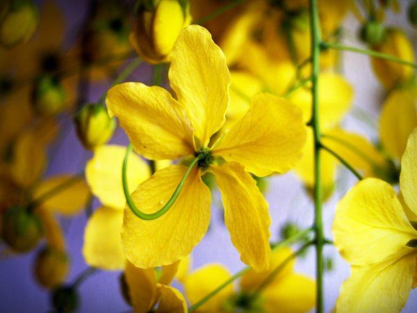 Η Κάσσια (Cassia floribunda) είναι θάμνος αειθαλής, γρήγορης ανάπτυξης, ύψους 1-2 μέτρα