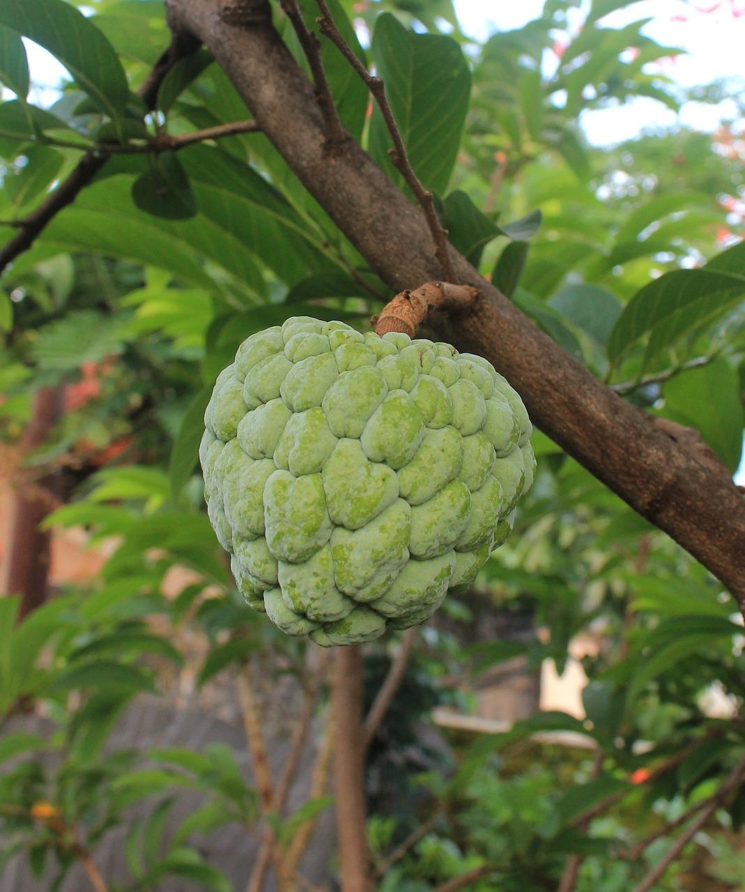 Η Cherimoya (Annonacherimola), κοινώς Tσεριμόγια, είναι δένδρο υποτροπικών περιοχών και προέρχεται από τις ορεινές κοιλάδες του Περού και του Ισημερινού