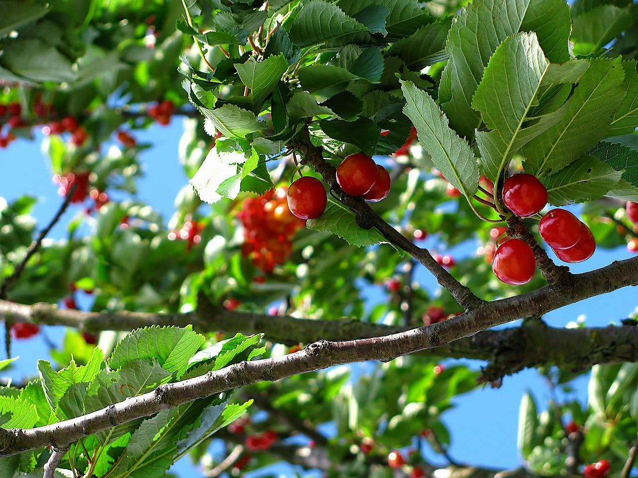 Η Κερασιά ανήκει στην οικογένεια Rosaceae, στο γένος Prunus avium L. Η κερασιά είναι δένδρο φυλλοβόλο, μεγάλου μεγέθους, με βλάστηση συνήθως ορθόκλαδη. Τα φύλλα της είναι απλά, διπλά οδοντωτά και αδενοφόρα.
