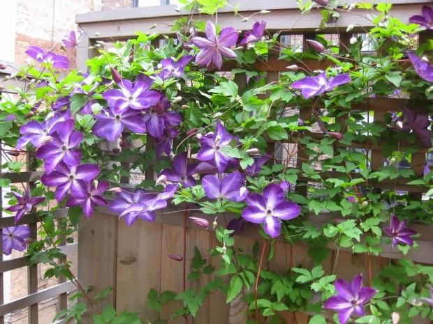 Η Κληματίς (Clematis sp.) είναι φυτά που ανήκουν στο γένος αποτελούμενο από αειθαλή και φυλλοβόλα αναρριχώμενα και ποώδη πολυετή είδη, που καλλιεργούνται κυρίως για την εντυπωσιακή και άφθονη ανθοφορία τους. Περιλαμβάνουν πολλά είδη και ποικιλίες με χαρακτηριστικά που ποικίλουν.