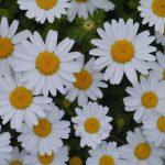 Η Μαργαρίτα (Chrysanthemum frutescens) είναι θάμνος αειθαλής, χαμηλής ανάπτυξης, με πυκνή βλάστηση.Ανθίζει πλούσια από άνοιξη
