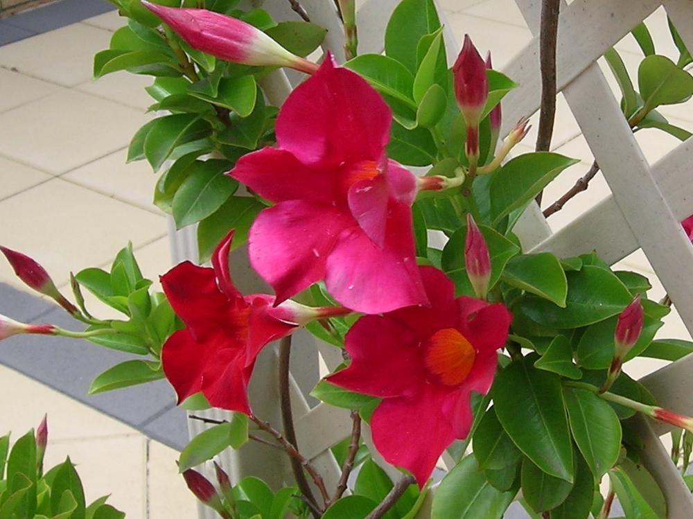 Η Διπλαδένια (Dipladenia splendens) είναι αειθαλές αναρριχώμενο φυτό με ύψος έως 3 μέτρα. Έχει γυαλιστερά πράσινα φύλλα και ανθίζει δίνοντας εντυπωσιακά ροζ - φούξια άνθη