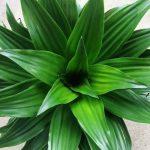 Η Δράκαινα (Dracaena indivisa) είναι θάμνος εξαιρετικής ομορφιάς, που φτάνει το ύψος τα 8 μέτρα με στέλεχος χωρίς διακλαδώσεις.