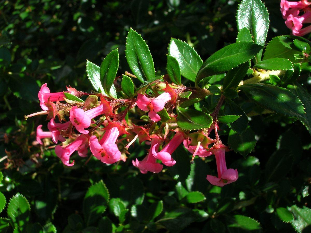 Η Εσκαλόνια ( Escalonia sp) είναι θάμνος αειθαλής, ύψους μέχρι 1,5 μέτρα, όρθιας ανάπτυξης, με γυαλιστερά οδοντωτά φύλλα