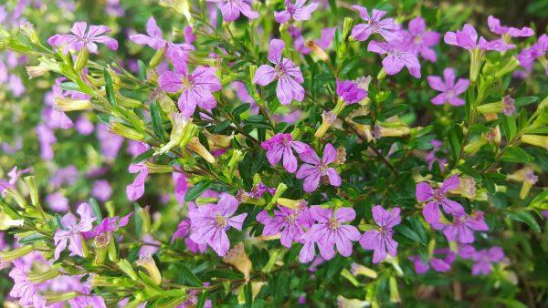 Η Κουφέα (Cuphea hyssopifolia) είναι θάμνος αειθαλής, σφαιρικός, πυκνός που φτάνει μέχρι 0,5 μ.