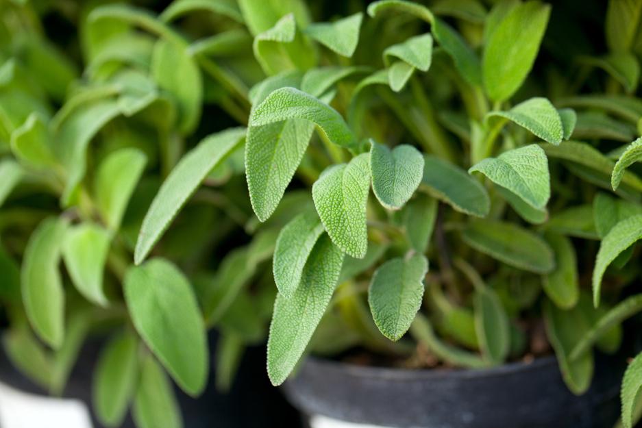 Το Φασκόμηλο ανήκει στην οικογένεια Lamiaceae, το είδος Salvia officinalis. Οι ιατρικές, διουρητικές, αντιβακτηριακές ιδιότητές του είναι γνωστές ήδη από την αρχαιότητα. Το φασκόμηλο είναι διεργετικό