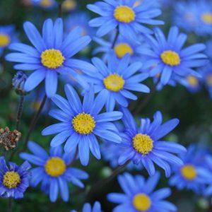 Η Φελίτσια (Felicia pappei) είναι πολυετής, αειθαλής πόα, ύψους μέχρι 0,5 μέτρα. Φέρει άνθη μπλε εντυπωσιακά, με κίτρινους δίσκους, που εμφανίζονται από την άνοιξη έως το φθινόπωρο. Είναι φυτό κατάλληλο για παρτέρια, για γραμμικές ή μεμονωμένες φυτεύσεις και για ζαρντινιέρες