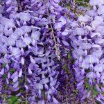 Η Γλυτσίνια (Βιστέρια) (Wisteria chinensis (sinensis) είναι θάμνος φυλλοβόλος, γρήγορης ανάπτυξης, που μπορεί να φτάσει ακόμα και 10-15 μέτρα. Εμφανίζει εντυπωσιακά μωβ άνθη