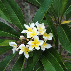 Η Πλουμέρια είναι θάμνος φυλλοβόλος, που εύκολα μπορεί να γίνει δενδρύλλιο.