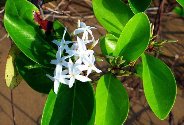 Η Καρίσσα η μεγανθής (Carissa grandiflora) είναι θάμνος αειθαλής, αγκαθωτός με φύλλα ωοειδή, λεία