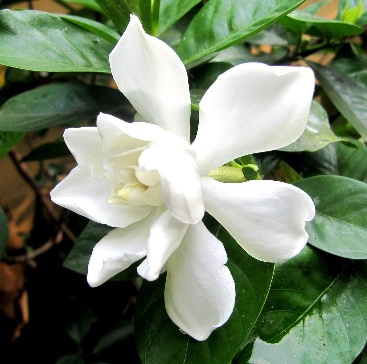 Η Γαρδένια είναι αειθαλής θάμνος, μέτριας έως αργής ανάπτυξης με οβάλ γυαλιστερά φύλλα