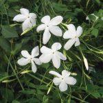 Το Γιασεμί Χιώτικο (Jasminum grandiflorum) είναι θάμνος αναρριχώμενος, αειθαλής ( σε ζεστά κλίματα ) ή φυλλοβόλος που φτάνει μέχρι και τα 5 μέτρα. Ανθίζει συνέχως από Ιούνιο μέχρι Δεκέμβριο με άνθη λευκά πολύ αρωματικά