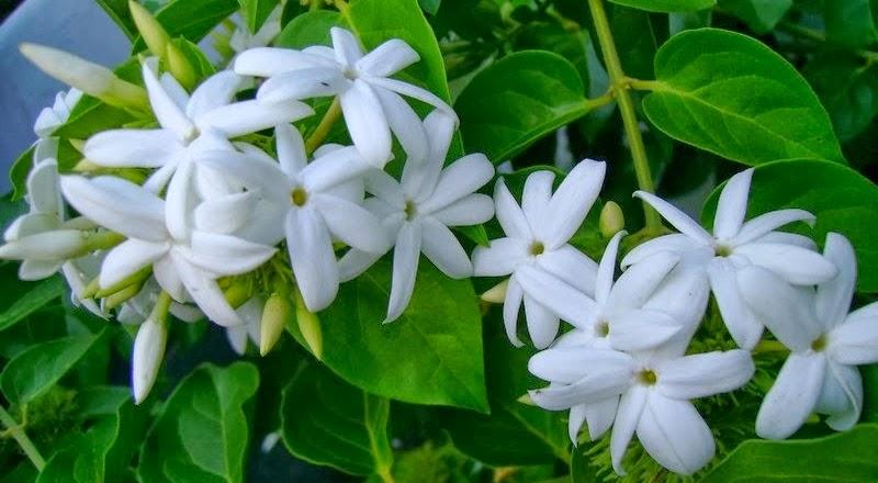 Το Γιασεμι Αζορών (Jasminum azoricum) είναι θάμνος αναρριχώμενος, αειθαλής που μπορεί να φτάσει 3 -4 μέτρα. Ανθίζει συνεχώς από Ιούνιο έως Οκτώβριο,