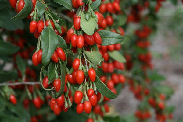 Το Goji Berry είναι θάμνος, που το ύψος του μπορεί να φτάσει ακόμα και τα 2 ή 3 μέτρα, ανάλογα με το είδος του φυτού και το κλάδεμα που θα του δώσουμε