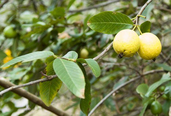Η Γκουάβα (Psidium guajava L) προέρχεται από τις τροπικές περιοχές της Αμερικής, Μεξικό,Κεντρική Αμερική, Βραζιλία όλες τις τροπικές χώρες.