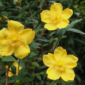 Το Υπέρικο είναι ποώδες πολυετές φυτό, αειθαλές