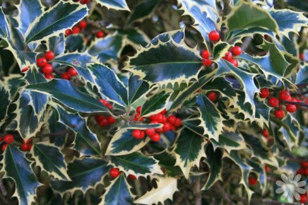 Το Ίλεξ ήμερο πουρνάρι (Ilex aquifolium) είναι θάμνος ή δένδρο αειθαλές, αργής ανάπτυξης