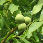 Η Καρυδιά ανήκει στην οικογένεια Juglandaceae, στο γένος Juglans. Περιλαμβάνει πολλά είδη που παρουσιάζουν ενδιαφέρον διατροφικό και εμπορικό.