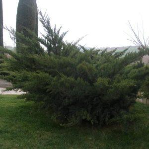 Τα φυτά Γιουνίπερους ανήκουν στο γένος που περιλαμβάνει πολλά διαφορετικά είδη δένδρων, δενδρυλλίων και θάμνων