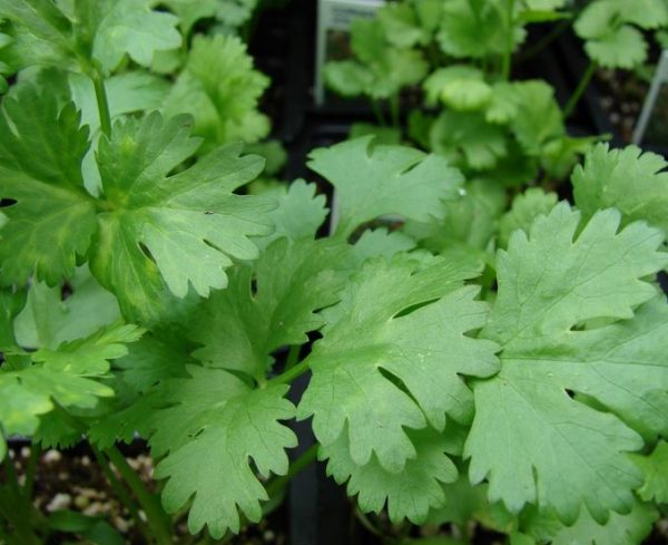 Ο Κόλιανδρος ανήκει στην oiκογένεια Umbelliferae και στο είδος Coriandrum sativum. Οι σπόροι του έχουν αντισπασμωδικές και διεργετικές ιδιότητες