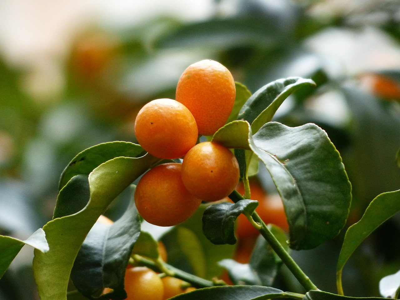 Το Κουμ Κουάτ ανήκει στην οικογένεια Rutaceae. Το Κουμ Κουάτ είναι ποικιλία με ωοειδείς καρπούς, κιτρινοπορτοκαλί χρώματος κουταλιού ή λικέρ.