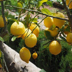 Λεμονιά πολύφορη είναι η ποικιλία της Λεμονιά που ανθίζει και καρποφορεί σχεδόν καθ΄όλη τη διάρκεια του έτους. Σε ορισμένες περιοχές ονομάζεται και δίφορη σουλτανιά, λόγω του χαρακτηριστικού της ότι δεν φέρει μέσα στο λεμόνι σπέρματα (κουκούτσια)