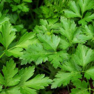 Ο Μαϊντανός ανήκει στην οικογένεια Umbrelliferae και στο είδος Petroselinum hortense. Τα φύλλα περιέχουν μεγάλες ποσότητες από βιταμίνη Α και C. Περιέχει επίσης ένα πολύ ισχρό αιθέριο έλαιο, στο οποίο αποδίδουν και αφροδισιακές ιδιότητες.