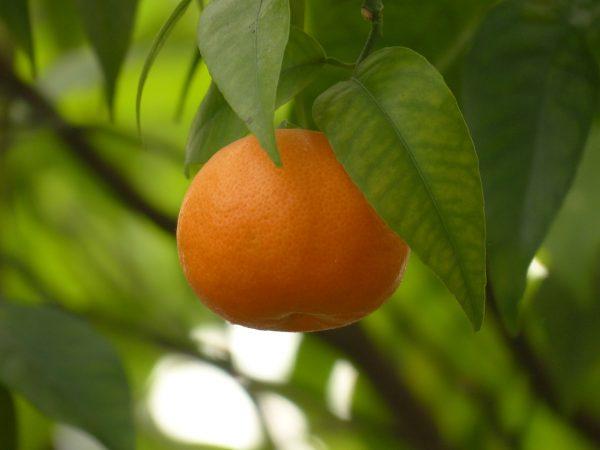 Το μανταρίνι προέρχεται από την Μανταρινιά, (επιστημονικά: Citrus reticulata, Κιτρέα η δικτυωτή), ενός μικρού εσπεριδοειδούς δένδρου