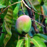 Μάνγκο Αυτοφύεται σε περιοχές της Ασίας, και καλλιεργείται συστηματικά σε πολλά μέρη ανά τον κόσμο. Τα φύλλα του είναι μικρά, με βαθύ πράσινο χρώμα