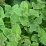 Η Μαντζουράνα ανήκει στην οικογένεια Labiatae και στο είδος Origanum majorana. Είναι πολύ πλούσια σε βιταμίνη C, περιέχει αιθέρια έλαια, τανίνες, οξύ δενδρολιβάνου
