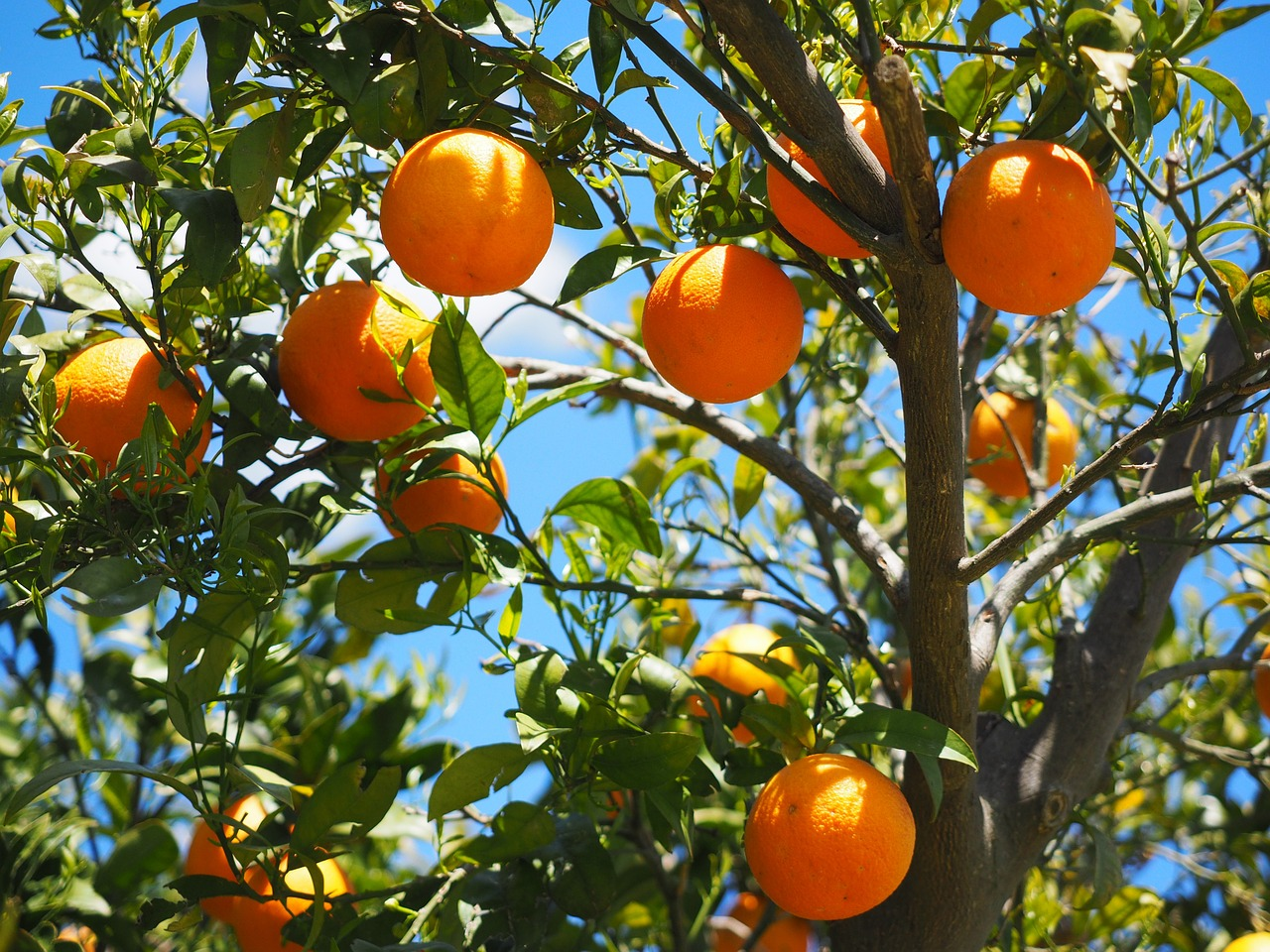 Η πορτοκαλιά (επιστ. Κιτρέα η σινική, Citrus × sinensis) είναι αγγειόσπερμο, δικότυλο, αειθαλές φυτό, που ανήκει στην τάξη των Σαπινδωδών και στην οικογένεια των Ρουτιδών (Rutaceae), δηλαδή τωνΕσπεριδοειδών (Hesperidaceae
