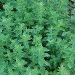 Η Ρίγανη ανήκει στην οικογένεια Labiatae, στο είδος Origanum vulgare. Μερικά από τα συστατικά που περιέχονται στη ρίγανη είναι οι τανίνες, πικρές ουσίες