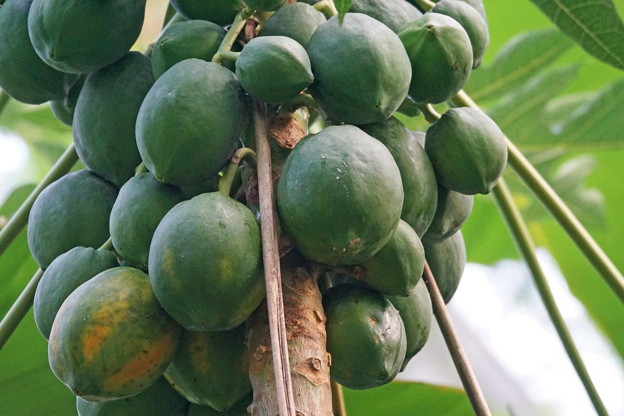 Καλλιεργείται σε περιοχές ζεστές - υποτροπικές, όπου δεν παρατηρούνται χιόνια ή παγετοί. Απαιτεί χώμα που στραγγίζει καλά και περιοχές όπου υπάρχει άφθονο ηλιακό φως. Γενικά θεωρείται από τα δένδρα που εύκολα αναπτύσσονται και μπαίνουν γρήγορα σε καρποφορία.