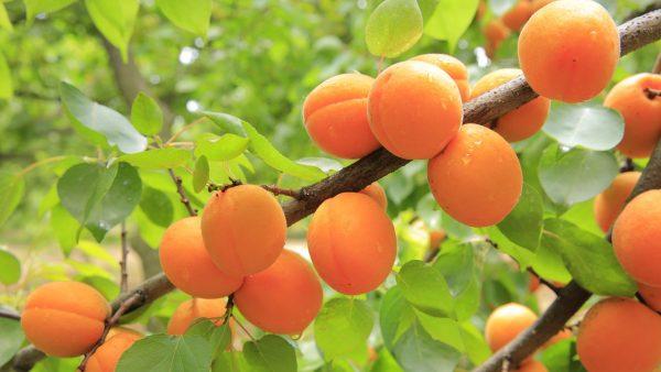 Η Βερικοκιά ανήκει στην οικογένεια Rosaceae, στο γένος Prunus. Οι σημαντικότερες καλλιεργούμενες ποικιλίες ανήκουν στο γένος Prunus armeniaca L.