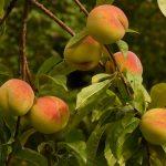 Η Ροδακινιά ανήκει στην οικογένεια Rosaceae , στο γένος Prunus. Οι σημαντικότερες καλλιεργούμενες ποικιλίες ανήκουν στο είδος Prunus persica L.