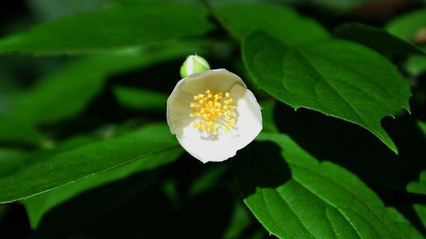 που φτάνει σε ύψος μέχρι τα 3 μέτρα. είναι φυτό υψηλής καλλωπιστικής αξίας, ιδιαίτερα εντυπωσιακό που αναδεικνύει γωνίες και χώρους στις οποίες τοποθετείται. Φέρει φύλλα οδοντωτά, ζωηρά, πράσινα. Ανθίζει από Μάιο έως Ιούνιο, με λευκά άνθη, πολύ αρωματικά.