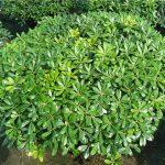 Η Αγγελική νάνα (Pittosporum tobira Nanum) είναι θάμνος αειθαλής που φτάνει σε ύψος μέχρι 0,5 μέτρα, με σφαιρική κόμη και φύλλα γυαλιστερά, δερματώδη. Είναι φυτό κατάλληλο για χαμηλή μπορντούρα, με εδαφοκλιματικές απαιτήσεις ίδιες με την Αγγελική την κοινή.
