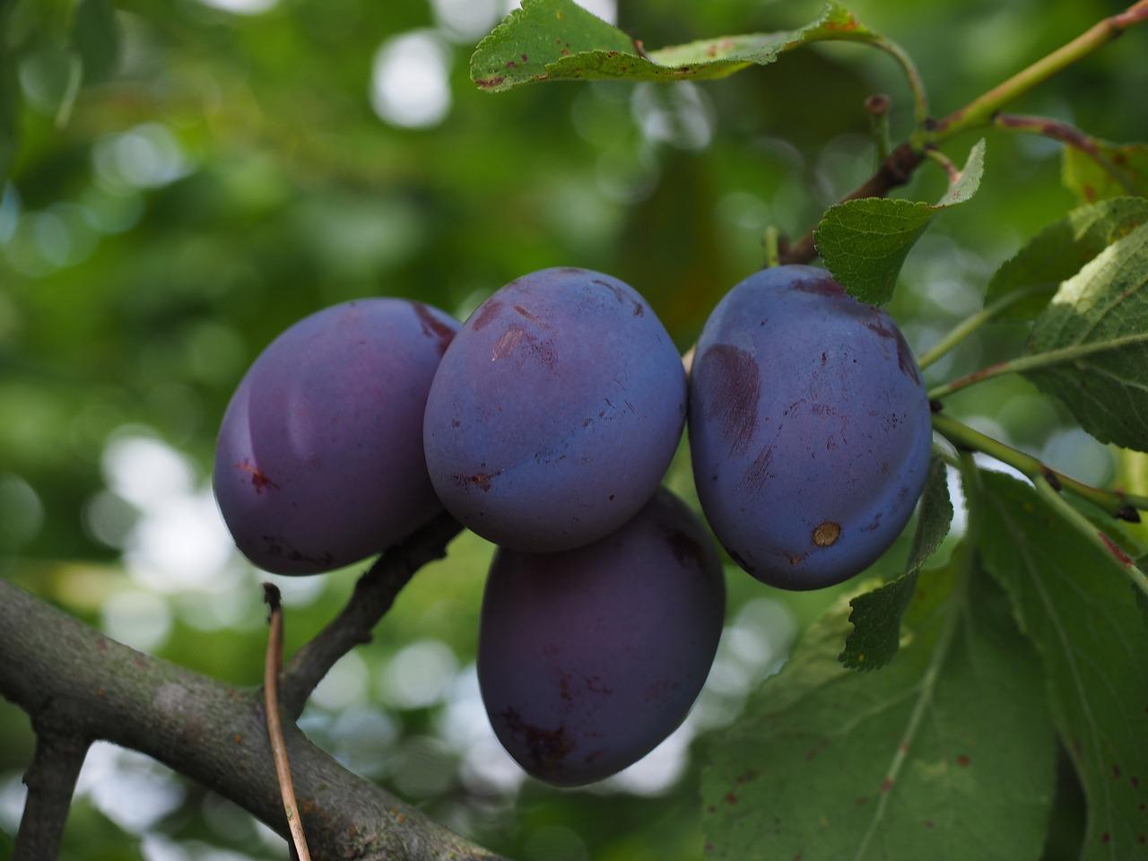 Η Δαμασκηνιά ανήκει στην οικογένεια Rosaceae, στο γένος Prunus L. Το γένος Prunus περιλαμβάνει πολλά είδη. Τα είδη με δενδροκομική σημασία είναι κυρίως τα Prunus domestica (Ευρωπαϊκή δαμασκηνιά)