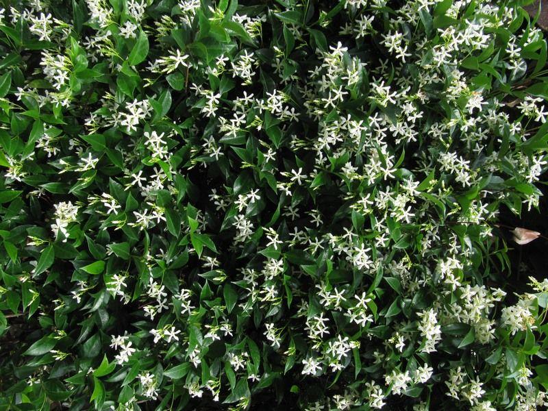 Το Ρυγχόσπερμο (Rhyncospermum jasminoides) είναι θάμνος αναρριχώμενος αειθαλής, αργής ανάπτυξης, που φτάνει τα 7-8 μέτρα ύψος