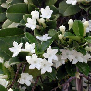 Η Στεφανωτή (Stephanotis floribunda) είναι φυτό αναρριχώμενο, αειθαλές που φέρει ωοειδή γυαλιστερά σκουροπράσινα φύλλα Έχει εντυπωσιακή ανθοφορία