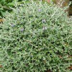 Το τεύκριο είναι θάμνος αειθαλής που φτάνει σε ύψος τα 2 μέτρα. Φέρει φύλλα γλαυκά, ωοειδή, αρωματικά και χνουδωτά. Άνθη μπλε σε επάκριες ταξιανθίες, εμφανιζόμενες από Απρίλιο έως Σεπτέμβριο. Είναι φυτό ανθεκτικό στην ξηρασία, κατάλληλο για παραθαλάσσιες περιοχές και για την δημιουργία σχημάτων.