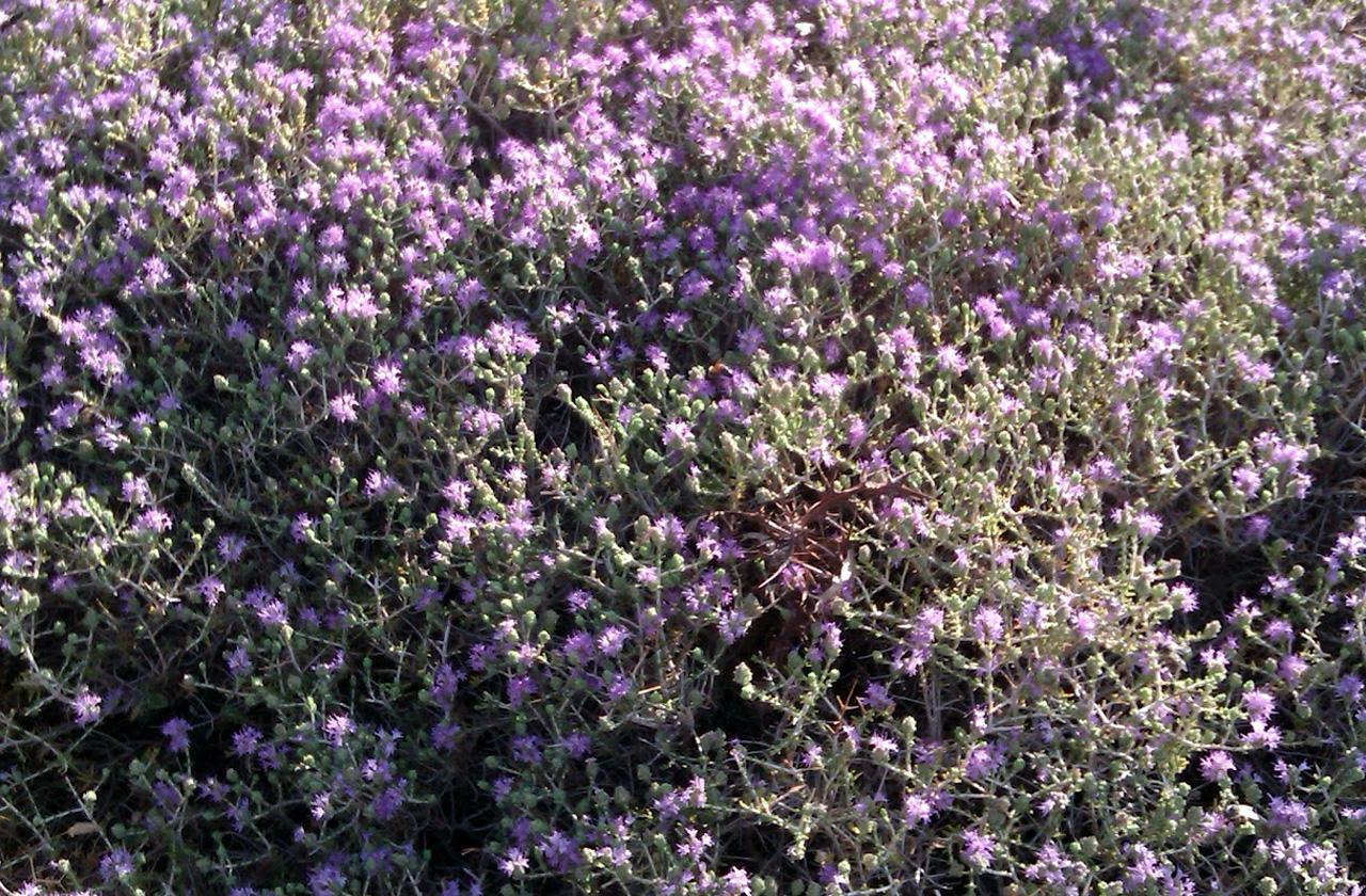 Το Θυμάρι ανήκει στην οικογένεια Labiatae, στο είδος Thymus vulgaris. Περιέχει διάφορα αιθέρια έλαια ( θυμόλη, καρβακρόλη κα ), ρητίνη, φαινολικό οξύ