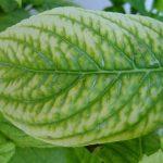 Μια από τις πιο συνηθισμένες τροφοπενίες που συναντούμε σε καρποφόρα δένδρα, κηπευτικά, αλλά και καλλωπιστικά φυτά είναι η έλλειψη σιδήρου (Fe) (Τροφοπενία Σιδήρου)