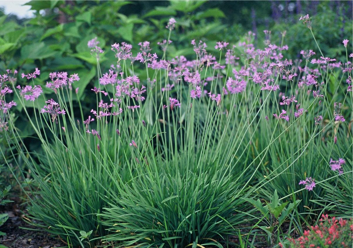Η Τουλμπάχια (Tulbaghia violacea) είναι ποώδες πολυετές φυτό, με ταινιόμορφα φύλλα, χρώματος γκριζοπράσινο. Κύριο χαρακτηριστικό είναι η ανθοφορία του με άνθη χρώμα τος μωβ