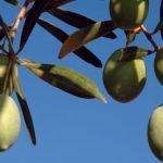 Ποικιλία ελιάς που είναι πολύ διαδεδομένη στη Χαλκιδική για αυτό και ονομάζεται Ελιά Χαλκιδικής.